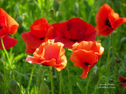 Poppies blooming